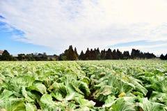 Μεγάλο αγρόκτημα λάχανων στην Ιαπωνία Kagoshima Στοκ Φωτογραφία