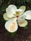 Μεγάλο ανθίζοντας λουλούδι Magnolia Στοκ Εικόνες