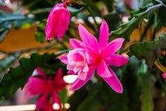 Μεγάλο ανοικτό λουλούδι γερανιών στο όμορφο ροζ στοκ εικόνες