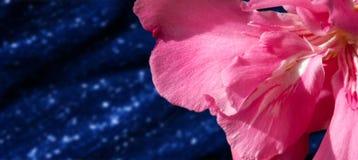 μεγάλο απελευθέρωσης πράσινο ύδωρ φωτογραφίας φύλλων μακρο Κινηματογράφηση σε πρώτο πλάνο NɪəriÉ™m ˈoÊŠli Nerium oleander Στοκ φωτογραφία με δικαίωμα ελεύθερης χρήσης