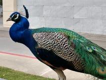 Μεγάλο αρσενικό γαλαζοπράσινο λοφίο φτερών Peacock στοκ φωτογραφίες με δικαίωμα ελεύθερης χρήσης