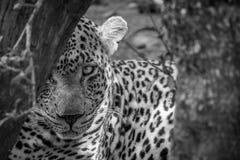 Μεγάλο αρσενικό κρύψιμο λεοπαρδάλεων πίσω από ένα δέντρο Στοκ φωτογραφίες με δικαίωμα ελεύθερης χρήσης