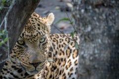 Μεγάλο αρσενικό κρύψιμο λεοπαρδάλεων πίσω από ένα δέντρο Στοκ Φωτογραφίες
