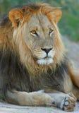 μεγάλο αρσενικό λιονταριών Στοκ Φωτογραφία