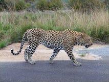 Μεγάλο αρσενικό leopard Στοκ Εικόνες