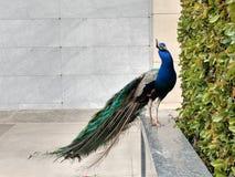 Μεγάλο αρσενικό peacock στην προεξοχή που εξετάζει τη κάμερα 3 στοκ φωτογραφία με δικαίωμα ελεύθερης χρήσης