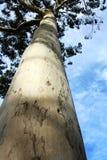 μεγάλο ασημένιο δέντρο ση&mu στοκ φωτογραφίες