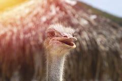 Μεγάλο αστείο πουλί: φωτογραφία κινηματογραφήσεων σε πρώτο πλάνο της στρουθοκαμήλου Στοκ Εικόνα