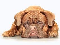 Μεγάλο γαλλικό μαστήφ σκυλιών moloss στοκ εικόνες με δικαίωμα ελεύθερης χρήσης