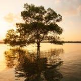 Μεγάλο δέντρο μαγγροβίων που υπερασπίζεται μόνο τη θάλασσα στο ηλιοβασίλεμα, φανταστικός ουρανός στο θερινό σούρουπο στοκ φωτογραφία με δικαίωμα ελεύθερης χρήσης