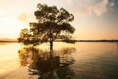 Μεγάλο δέντρο μαγγροβίων που υπερασπίζεται μόνο τη θάλασσα στο ηλιοβασίλεμα, φανταστικός ουρανός στο θερινό σούρουπο στοκ φωτογραφίες με δικαίωμα ελεύθερης χρήσης