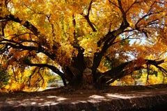 Μεγάλο δέντρο με τα κίτρινα φύλλα στοκ εικόνα με δικαίωμα ελεύθερης χρήσης
