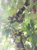 Μεγάλο δέντρο με τα της Χιλής σύκα στοκ εικόνες με δικαίωμα ελεύθερης χρήσης