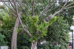 μεγάλο δέντρο πάρκων Στο δέντρο είναι φωλιές πουλιών από τους κλάδους Πράσινο φύλλωμα, παχύ ξύλο στοκ φωτογραφία με δικαίωμα ελεύθερης χρήσης
