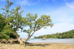 μεγάλο δέντρο παραλιών Στοκ Φωτογραφία