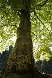 Μεγάλο δέντρο που φωτίζεται από πίσω Στοκ φωτογραφία με δικαίωμα ελεύθερης χρήσης