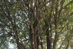 Μεγάλο δέντρο στο δάσος Στοκ Φωτογραφίες