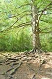 Μεγάλο δέντρο στο δάσος Στοκ εικόνα με δικαίωμα ελεύθερης χρήσης