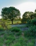Μεγάλο ενιαίο δέντρο σφενδάμνου την ηλιόλουστη θερινή ημέρα στον πράσινο τομέα με το μπλε ουρανό στοκ φωτογραφίες με δικαίωμα ελεύθερης χρήσης