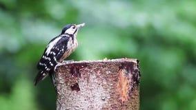 Μεγάλο επισημασμένο σημαντικό θηλυκό πουλί dendrocopos δρυοκολαπτών σκάβει το δέντρο για τα τρόφιμα Στενή κατανάλωση πουλιών δρυο απόθεμα βίντεο