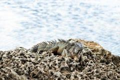 Μεγάλο ζωηρόχρωμο Iguana στην ακτή βράχων Στοκ εικόνες με δικαίωμα ελεύθερης χρήσης