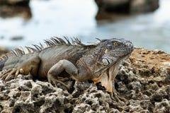Μεγάλο ζωηρόχρωμο Iguana στους φυσικούς βράχους παράλληλα με τον ωκεανό Στοκ φωτογραφία με δικαίωμα ελεύθερης χρήσης