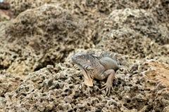 Μεγάλο ζωηρόχρωμο Iguana στους φυσικούς βράχους στο φως της ημέρας Στοκ Φωτογραφίες