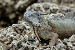 Μεγάλο ζωηρόχρωμο Iguana στους φυσικούς βράχους Στοκ Φωτογραφίες