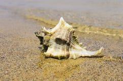 Μεγάλο θαλασσινό κοχύλι στην ακτή Στοκ Εικόνες