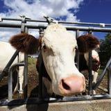 μεγάλο κεφάλι αγελάδων Στοκ φωτογραφία με δικαίωμα ελεύθερης χρήσης