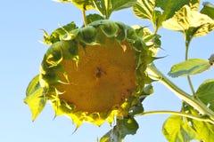 Μεγάλο κεφάλι του πράσινου ηλίανθου στοκ φωτογραφία με δικαίωμα ελεύθερης χρήσης