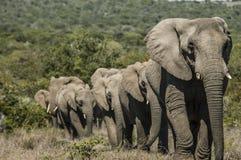 Μεγάλο κοπάδι των ελεφάντων που περπατούν έξω της παχιάς βλάστησης Στοκ Εικόνα