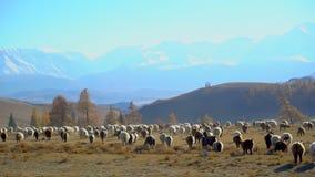 Μεγάλο κοπάδι των προβάτων που κινούνται, που τρέχει στο τοπίο βουνών Λιβάδι, αγροτικό, κρέας, μαλλί, αρνί, γεωργία, χωριό απόθεμα βίντεο