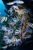 μεγάλο κοπάδι ψαριών τροπ&iot Στοκ εικόνα με δικαίωμα ελεύθερης χρήσης