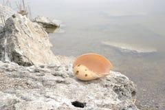 μεγάλο κοχύλι θάλασσας στοκ εικόνα με δικαίωμα ελεύθερης χρήσης