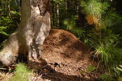 μεγάλο κωνοφόρο δάσος λό& Στοκ φωτογραφίες με δικαίωμα ελεύθερης χρήσης