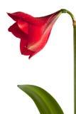 μεγάλο κόκκινο λουλο&upsil Στοκ Εικόνες