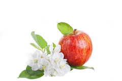 Μεγάλο κόκκινο μήλο Στοκ φωτογραφία με δικαίωμα ελεύθερης χρήσης