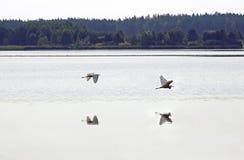 μεγάλο λευκό ερωδιών Λίμνη θερινής ημέρας τον Αύγουστο ηξών Νερό και αντανάκλαση στοκ εικόνα