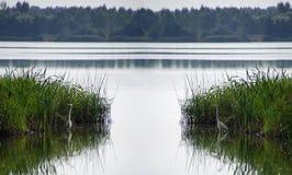 μεγάλο λευκό ερωδιών Λίμνη θερινής ημέρας τον Αύγουστο ηξών Νερό και αντανάκλαση στοκ εικόνες