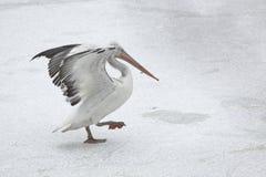 μεγάλο λευκό πελεκάνων &p Στοκ φωτογραφίες με δικαίωμα ελεύθερης χρήσης