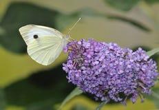 μεγάλο λευκό πεταλούδ&omega Στοκ Φωτογραφίες