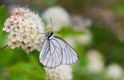 μεγάλο λευκό πεταλούδ&omega Στοκ Εικόνες
