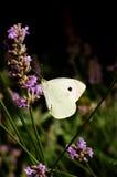 μεγάλο λευκό πεταλούδ&omega Στοκ Εικόνα