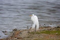 μεγάλο λευκό τσικνιάδων Στοκ φωτογραφία με δικαίωμα ελεύθερης χρήσης