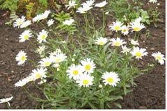 μεγάλο λευκό camomiles Στοκ εικόνα με δικαίωμα ελεύθερης χρήσης