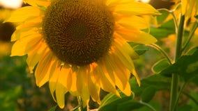 Μεγάλο λουλούδι ηλίανθων στο ηλιοβασίλεμα φιλμ μικρού μήκους
