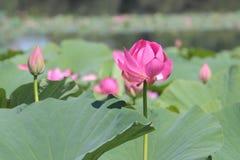 Μεγάλο λουλούδι λωτού στοκ φωτογραφία