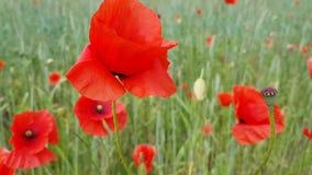 Μεγάλο λουλούδι παπαρουνών σε ένα πράσινο υπόβαθρο τομέων Ανθίζοντας όμορφα λουλούδια μια θερινή ημέρα Ένα έντομο πετά κοντά Ένα  φιλμ μικρού μήκους