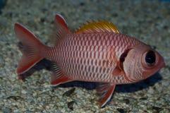 μεγάλο μάτι squirrelfish Στοκ Φωτογραφίες